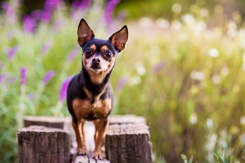 hayvanlar,köpek türleri,chihuahua