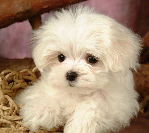 köpekler,küçük ırk,maltese terrier